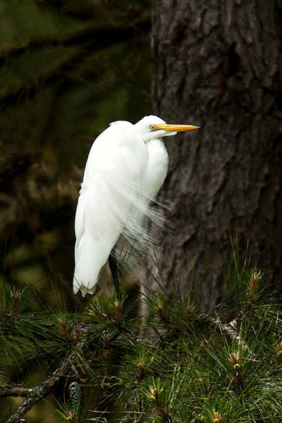 Photograph - Water Color Egret by Lara Ellis