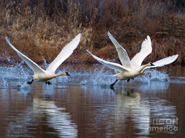 Trumpeter Swan Wall Art - Photograph - Water Dance by Mike  Dawson