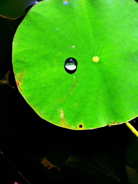 Photograph - Water Drop Lily Pad by Jeff Lowe