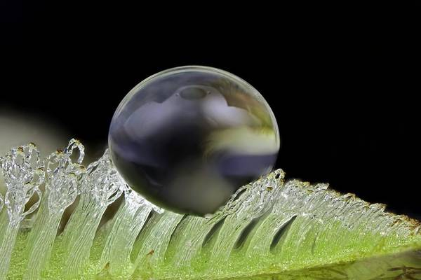 Plant Anatomy Wall Art - Photograph - Water Drop On Salvinia Sp. Trichomes by Frank Fox