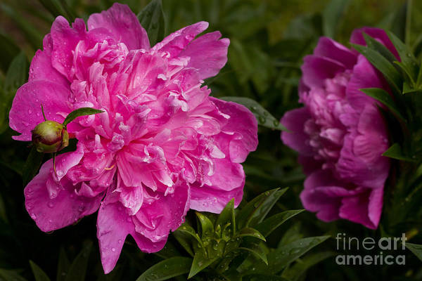 Wall Art - Photograph - Water Droplets On Peonies by Lena Auxier