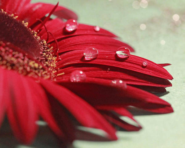 Photograph - Water Drops On Daisy by Angela Murdock