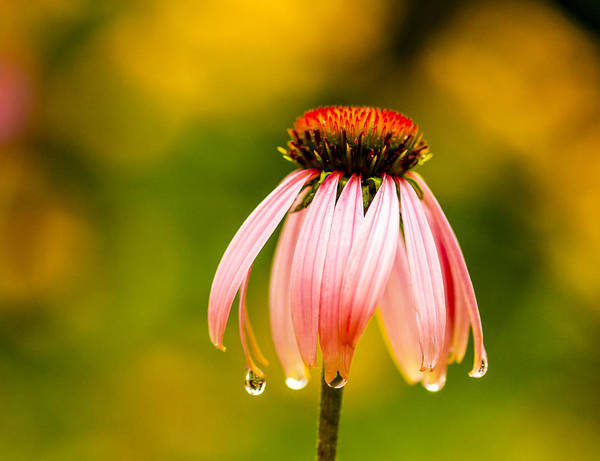 Photograph - Water Drops On Echinacea Flower by Teri Virbickis