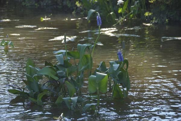 Photograph - Water Flower by Ralph Jones