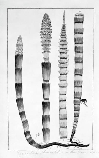 Bolton Photograph - Water Horsetail (equisetum Fluviatile) by Natural History Museum, London