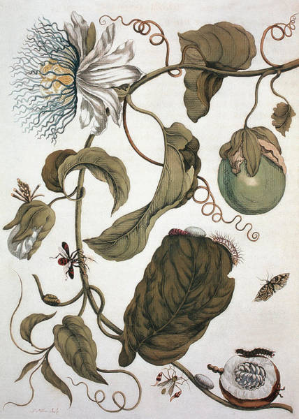 Wall Art - Photograph - Water Lemon (passiflora Laurifolia) by Natural History Museum, London/science Photo Library