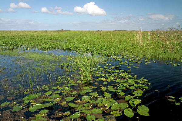 Southeastern Photograph - Water Lilies And Sawgrass by David R. Frazier