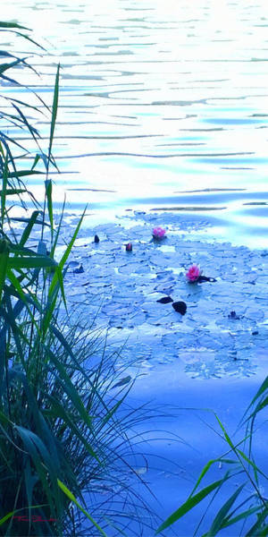 Photograph - Water Lilies Blue by Theo Danella