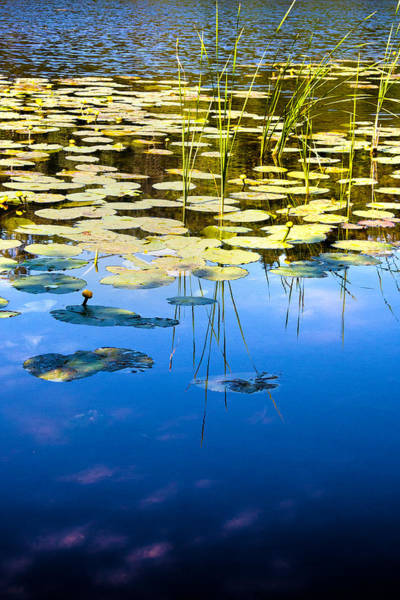 Photograph - Water Lilies by David Davies