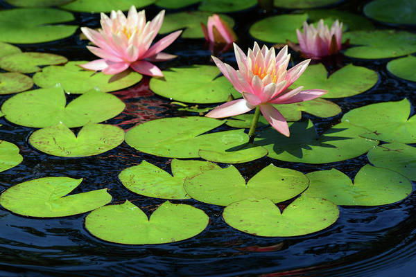Nymphaea Lotus Photograph - Water Lilies Flowering In A Pond by Darlyne A Murawski