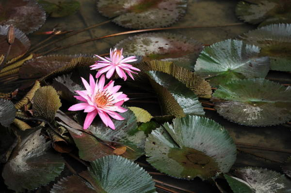 Wall Art - Photograph - Water Lilies by Jessica Rose