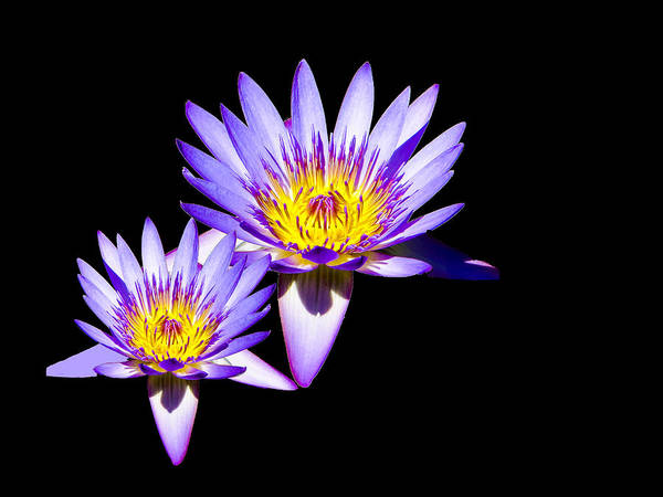 Photograph - Water Lilies On Black by Bill Barber