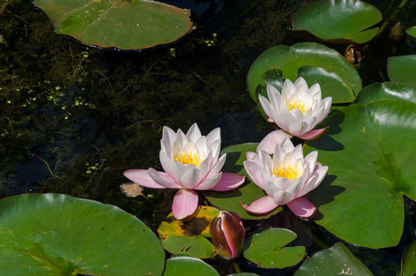Photograph - Water Lilies by Paul Indigo