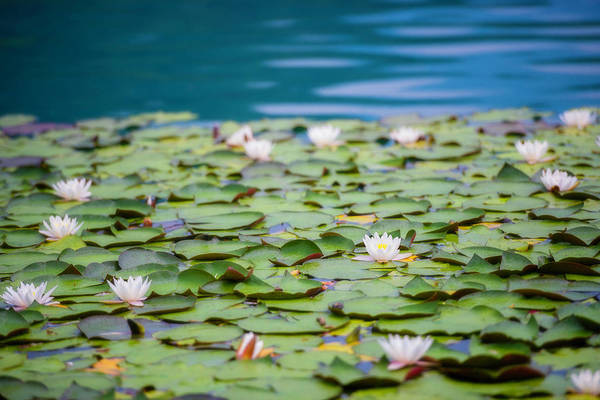 Wall Art - Photograph - Water Lilies by Vm