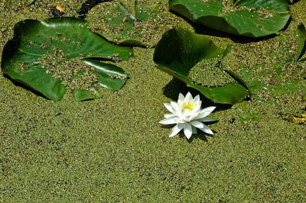Barrett Photograph - Water Lilly 2 by Rhonda Barrett