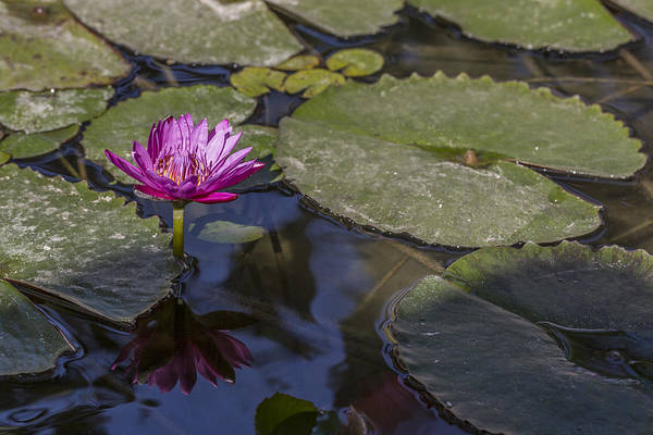 Photograph - Water Lily 1 by Scott Campbell