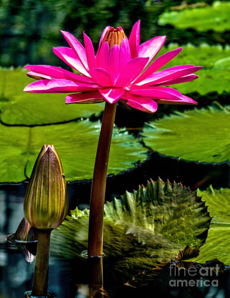 Wall Art - Photograph - Water Lily 2014-11 by Nick Zelinsky