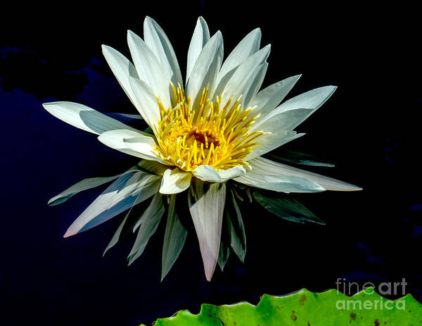 Wall Art - Photograph - Water Lily 2014-15 by Nick Zelinsky