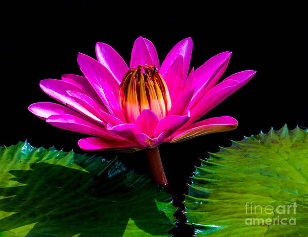 Wall Art - Photograph - Water Lily 2014-3 by Nick Zelinsky