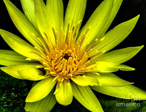 Wall Art - Photograph - Water Lily 2014-4 by Nick Zelinsky