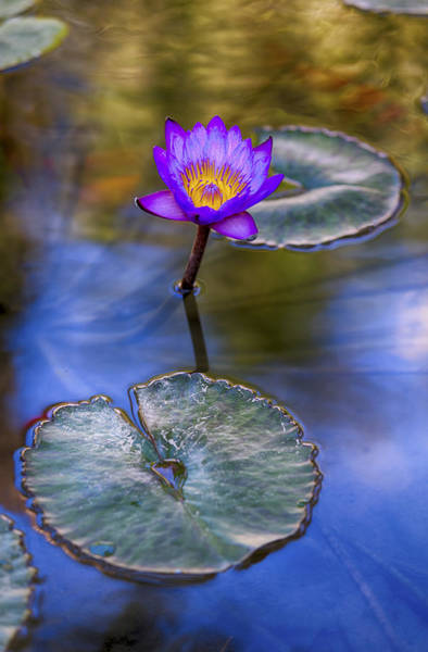 Photograph - Water Lily 4 by Scott Campbell