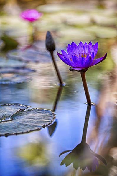 Photograph - Water Lily 6 by Scott Campbell