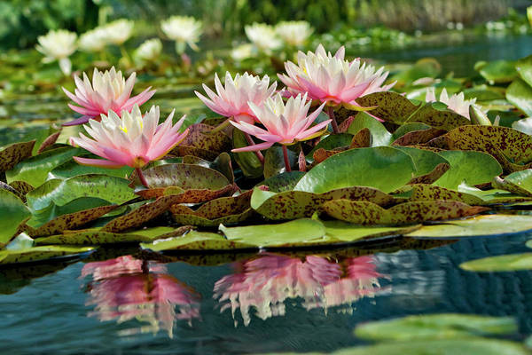 Conservatory Photograph - Water Lily And Lily Pads, Como Park Zoo by Adam Jones