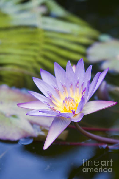 Photograph - Water Lily Blue Jade by Sharon Mau
