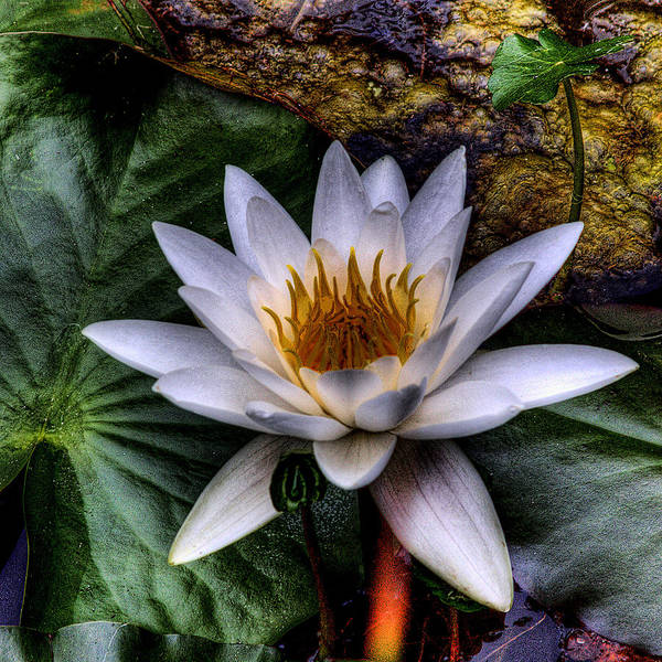 Lilly Pad Wall Art - Photograph - Water Lily by David Patterson