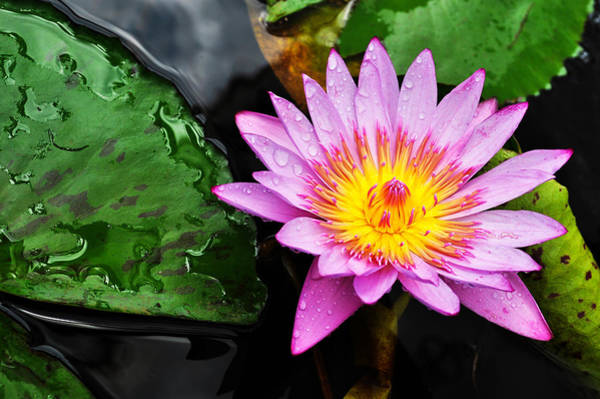 Photograph - Water Lily by Denise Bird