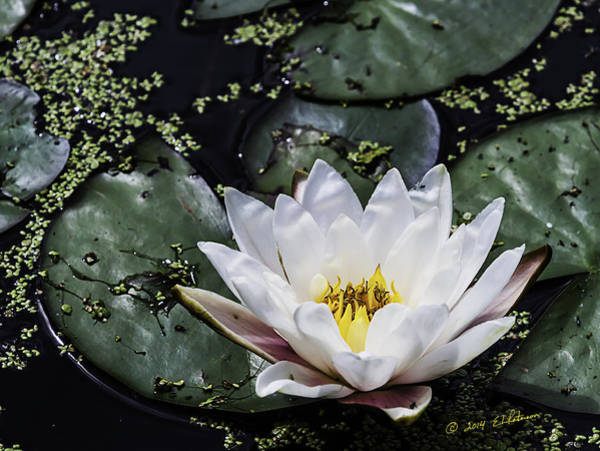 Photograph - Water Lily  by Edward Peterson