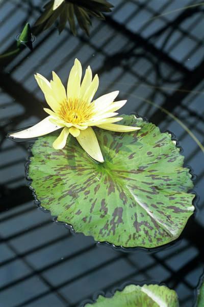 Eldorado Photograph - Water Lily 'eldorado' Flower by Adrian Thomas/science Photo Library