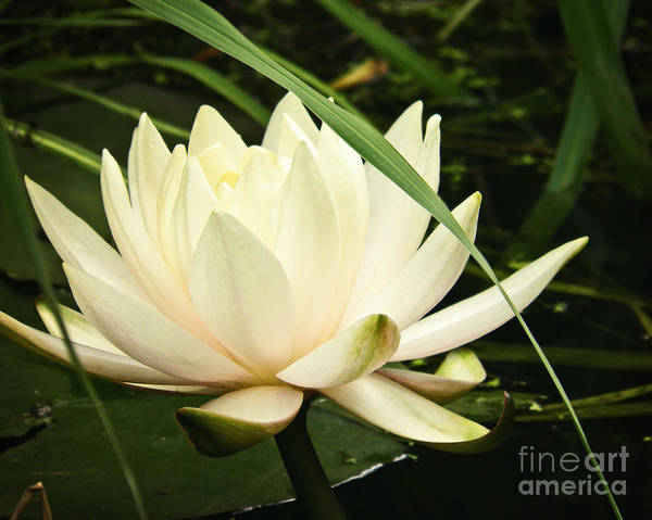Wall Art - Photograph - Water Lily by Emily Kelley