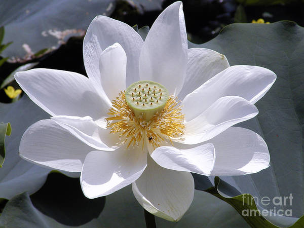 Photograph - Water Lily by George DeLisle
