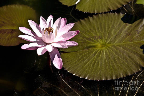 Photograph - Water Lily by Heiko Koehrer-Wagner