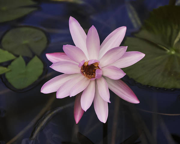 Photograph - Water Lily by Lee Kirchhevel