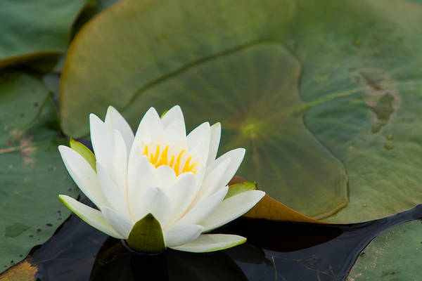 Nymphaea Lotus Photograph - Water Lily by Matt Dobson