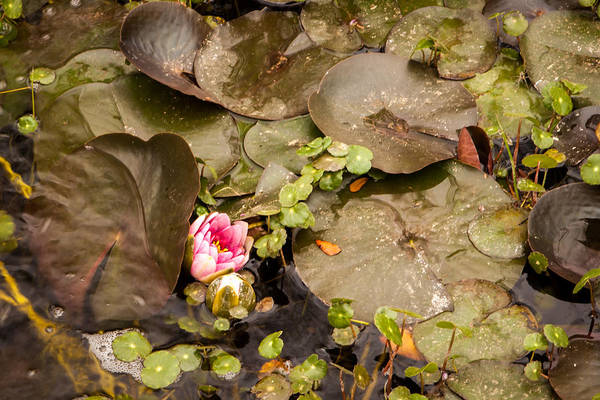 Photograph - Water Lily  by Melinda Ledsome