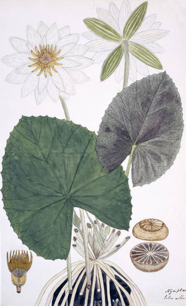 Nymphaea Lotus Photograph - Water Lily (nymphaea Lotus) by Natural History Museum, London/science Photo Library