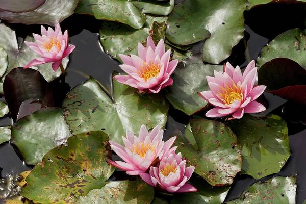 Sensation Photograph - Water Lily (nymphaea 'pink Sensation') by Bob Gibbons