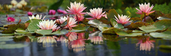 Photograph - Water Lily Profusion by Leda Robertson