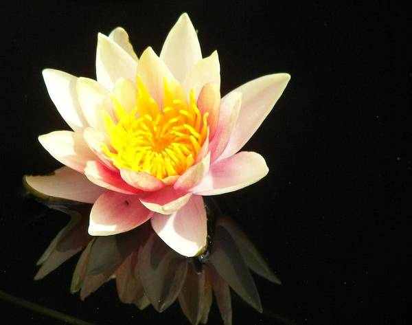 Water Lily Reflection Art Print