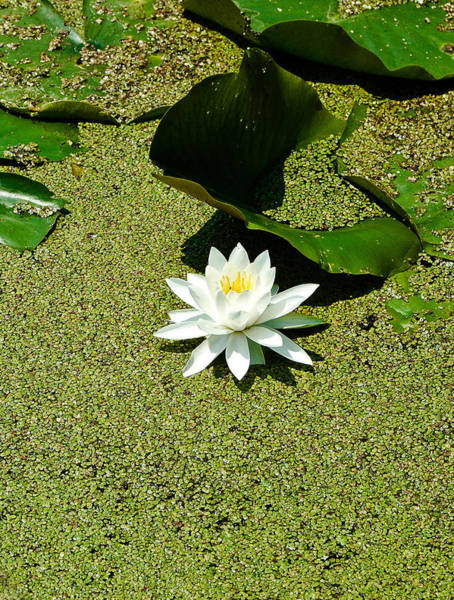 Barrett Photograph - Water Lily by Rhonda Barrett