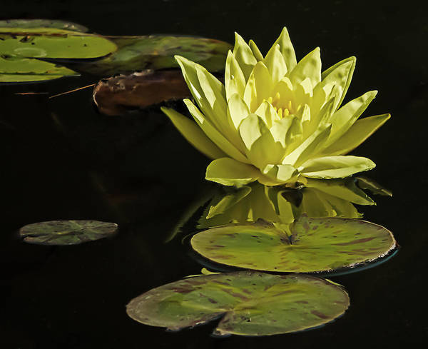 Photograph - Water Lily by Robert Mitchell