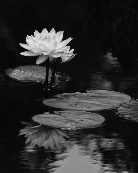 Photograph - Water Lily Serenity by Dawn Currie