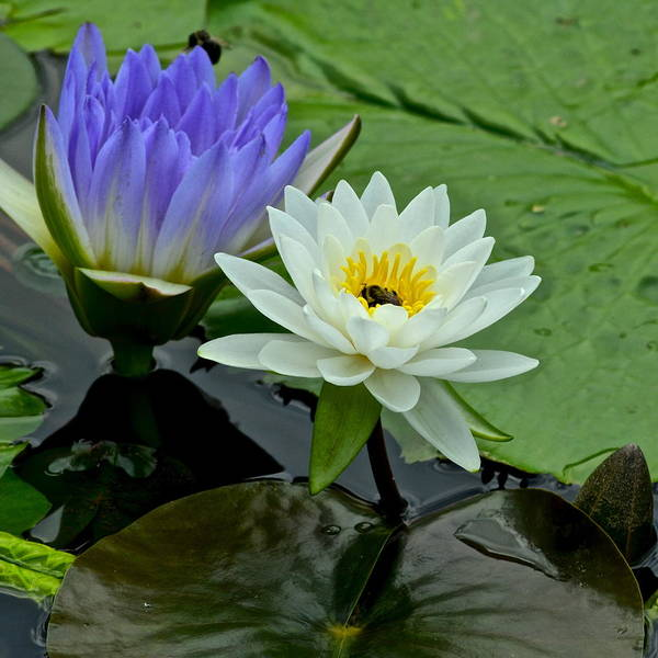 Spiritual Bliss Wall Art - Photograph - Water Lily Serenity by Frozen in Time Fine Art Photography