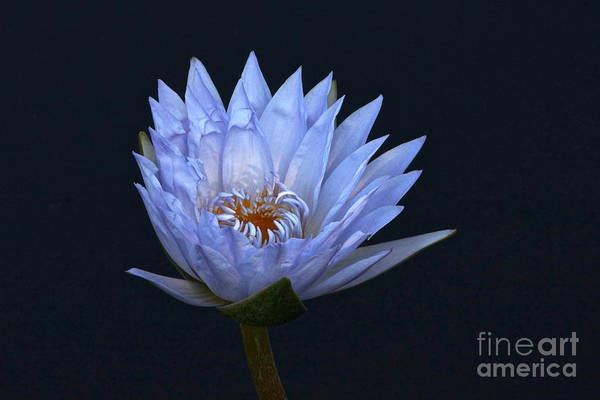 Photograph - Water Lily Shades Of Blue And Lavender by Byron Varvarigos