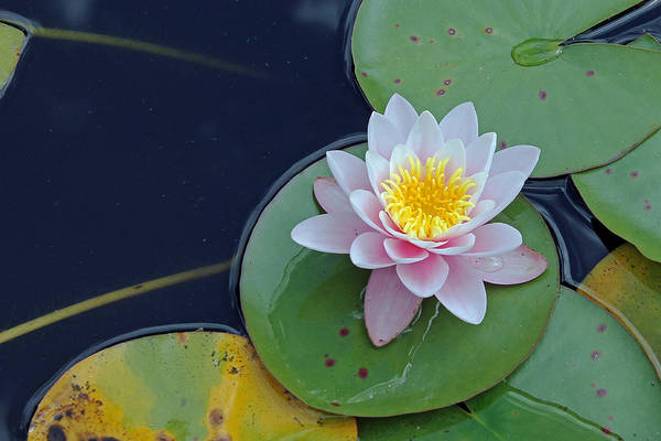 Photograph - Water Lily by Tony Murtagh