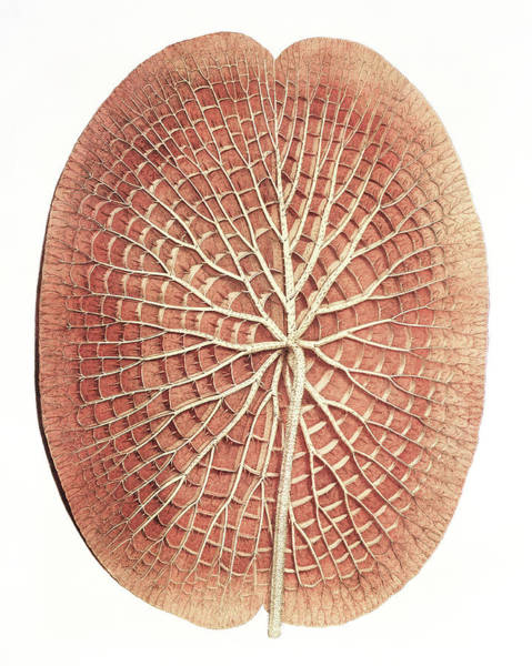 Victoria Amazonica Wall Art - Photograph - Water Lily (victoria Amazonica) Leaf by Natural History Museum, London