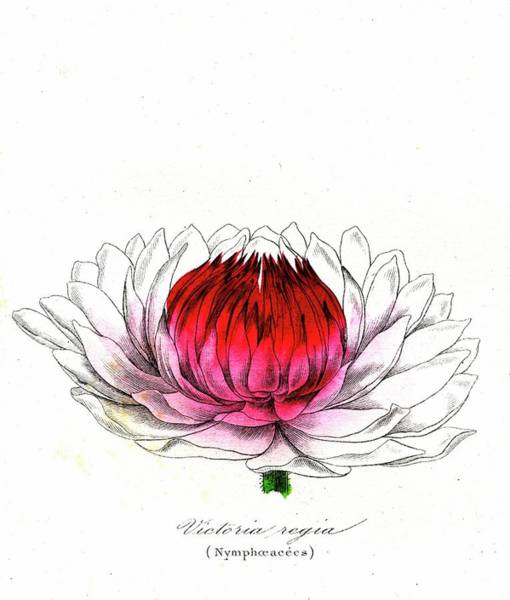 Victoria Amazonica Wall Art - Photograph - Water Lily (victoria Regia) by Collection Abecasis/science Photo Library